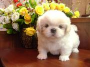 куплю щенка пекинеса за от 5000-до 10000