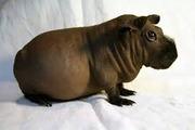 морская свинка породы( скинни )