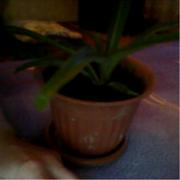 комнатное растение хлорофитум и герань в горшках